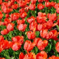 Как он красив, тот пламенный цветок... :: Ольга
