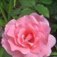 Прелестней чайной розы нет... :: Нина Корешкова