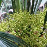 Цветы пальмы :: Ольга Иргит