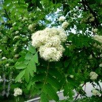 Цветет рябина красная :: Лариса Рогова