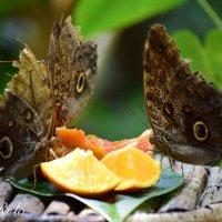 Бабочки :: Galia Rota
