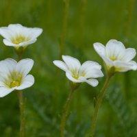 Белые цветы :: Татьяна Лютаева