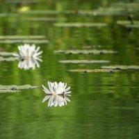Водяные лилии :: Ирина Приходько