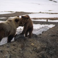 Медвежьи нежности.... :: Юрий Харченко