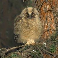 Птенец ушастой совы :: Влад