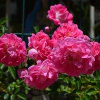 Плетистая роза :: Людмила