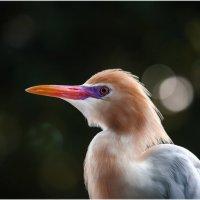Египетская цапля...парк птиц...Куала Лумпур.Малайзия. :: Александр Вивчарик