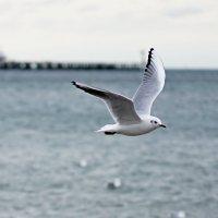 Чайка в полете :: Allex Anapa
