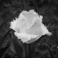 Белый тюльпан :: Андрей Нибылица