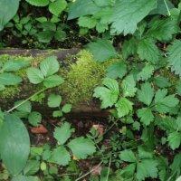 Приветствую тебя, мох лесной, хранитель леса! :: Ольга Кривых