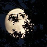 Луна в кустах ночью. :: Владимир Гилясев