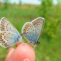 Бабочки-голубянки :: °•●Елена●•° ♀
