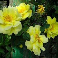 4 розы :: Александр Бурилов