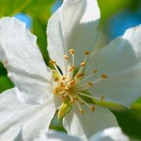 Цветочек яблони. :: Павел Бескороваев
