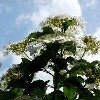 Ой, цветёт калина... :: Тамара (st.tamara)