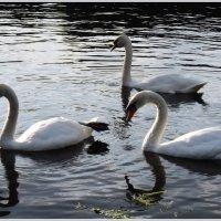 Лебеди :: vadim