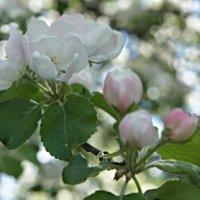 Яблоня цветёт - какое чудо! :: Елена Павлова (Смолова)