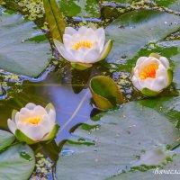Белые лилии. Фото 3. :: Вячеслав Касаткин