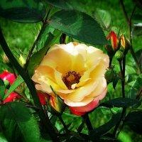 """Розы из сада гостиницы """"Хайят""""Фото №1 :: Владимир Бровко"""