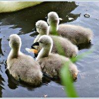 Лебедята. :: Валерия Комова