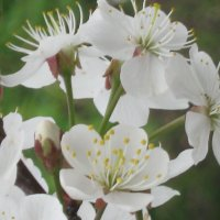 Цветёт вишня :: галина
