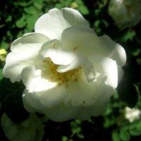 Белый жасмин :: Елена Семигина