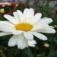 Argyranthemum /  Аргирантема :: laana laadas