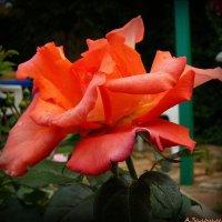 Ну просто розы :: Андрей Заломленков