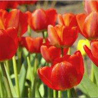Пора тюльпанов :: Дмитрий
