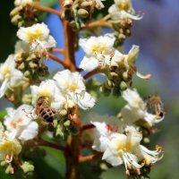 И снова про пчелок и каштаны. :: Валентина ツ ღ✿ღ