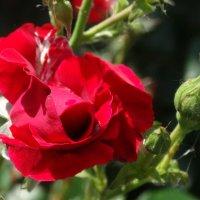 Розы настоящая и будущая... :: Тамара (st.tamara)