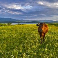 Корова..., просто корова :: Игорь Кузьмин