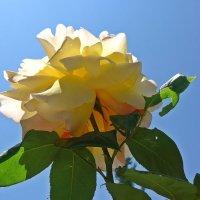 время цветения роз!!!! :: Galina Dzubina