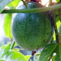 Пассифлора, плод. :: Валерьян