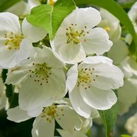 Такое короткое цветение :: Светлана Игнатьева