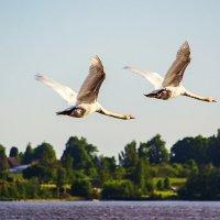 Лебеди над рекой :: Vitalij P