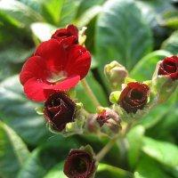 Primula veris Goldnugget / Примула весенняя :: laana laadas