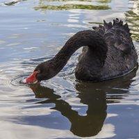 Черный лебедь :: Марина Назарова