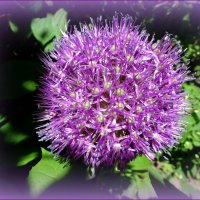 Цветы дикого лука :: Вера