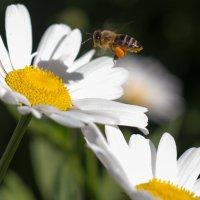 Пчела в полете :: Вячеслав Овчинников