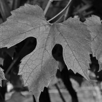 grape leaf :: Alex Crow