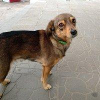 Собачка,ждущая возле магазина свою хозяйку :: Любовь Клименок