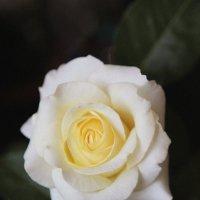 роза :: Вероника Фадеева