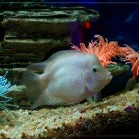 Житель аквариума. :: Anatol Livtsov
