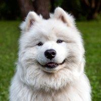 Собака-улыбака !!! :) :: Sergey Sergaj