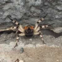 Южноруский тарантул :: Barmaley Komkov