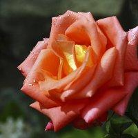 ...и летний дождь коснулся розы... :: Валерий Басыров