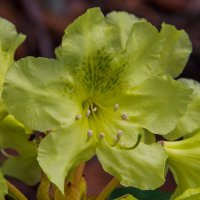 Цветок рододендрона :: Александр Давыдов