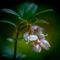 Цветение брусники... :: Федор Кованский