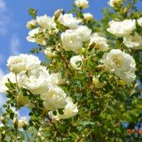 Чайная роза :: Ольга